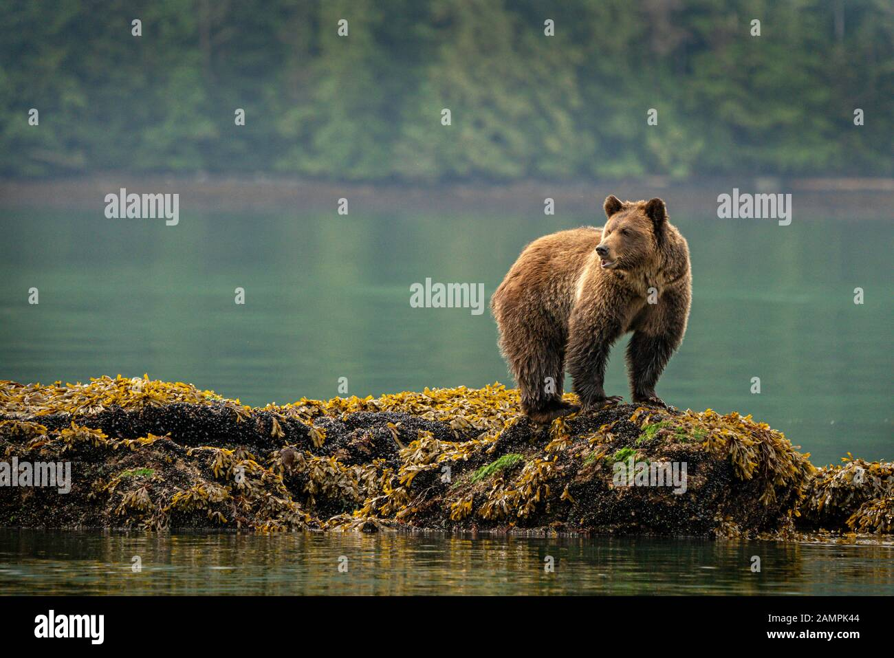 Grizzly bear foraging on mussels along the low tide line in Knight Inlet, First Nations Territory, British Columbia, Canada. Stock Photo