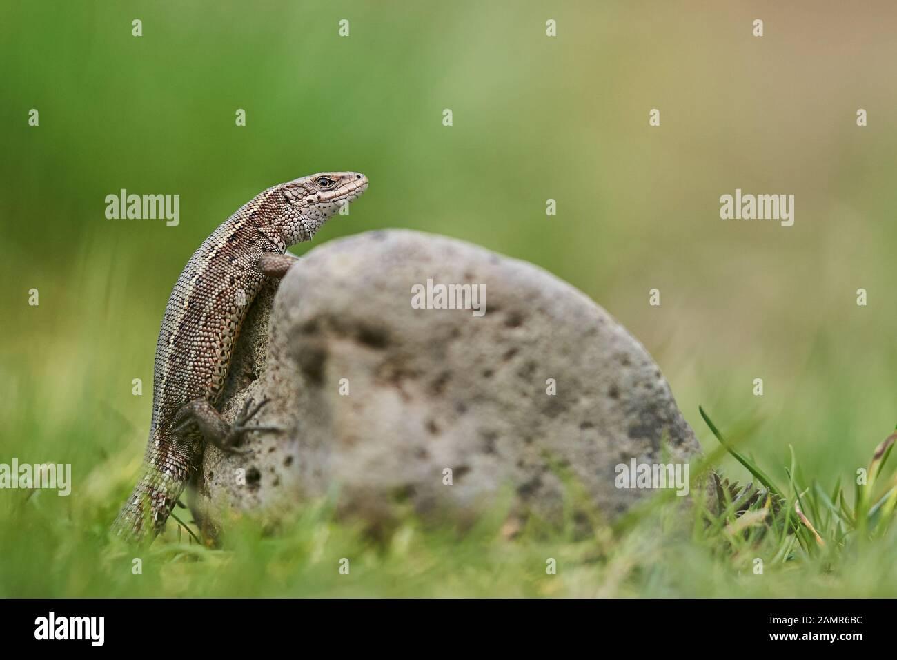 The viviparous or common lizard Zootoca vivipara in Czech Republic Stock Photo