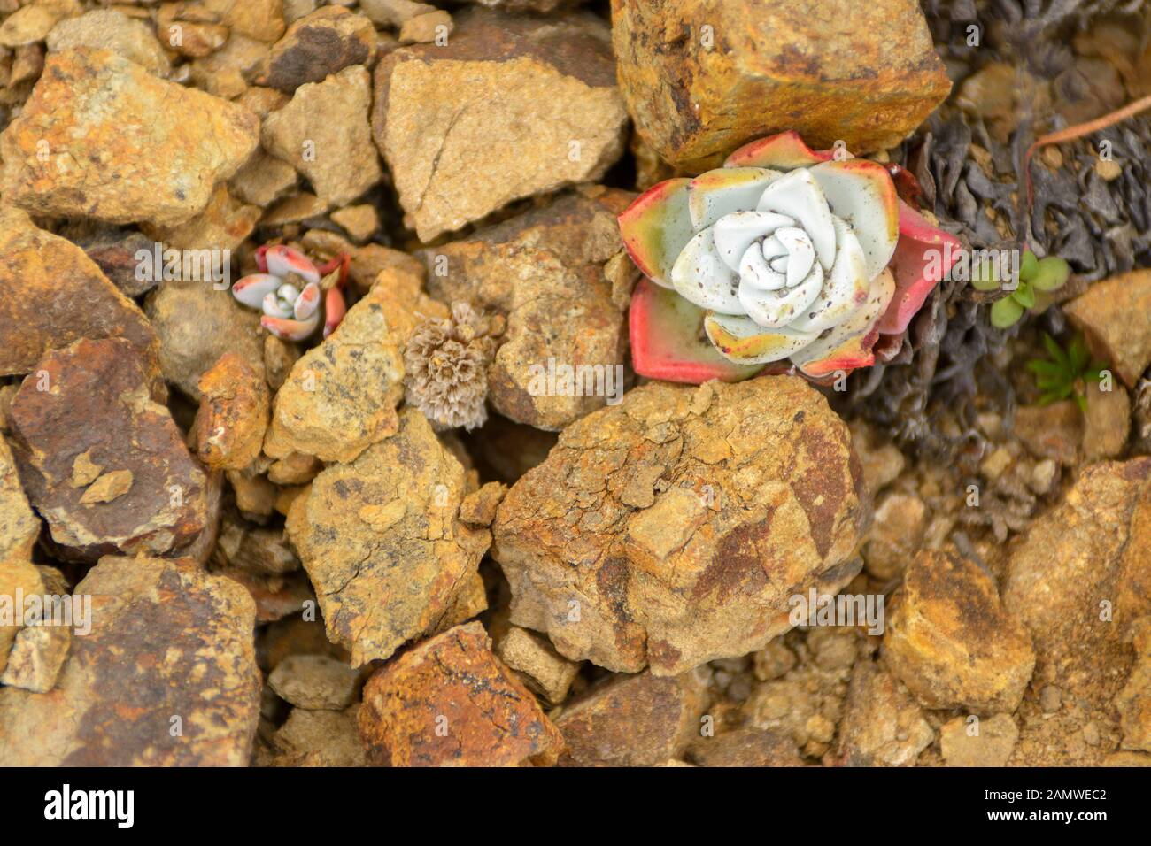 Red Green Echeveria Succulents Growing On Rocks Stock Photo