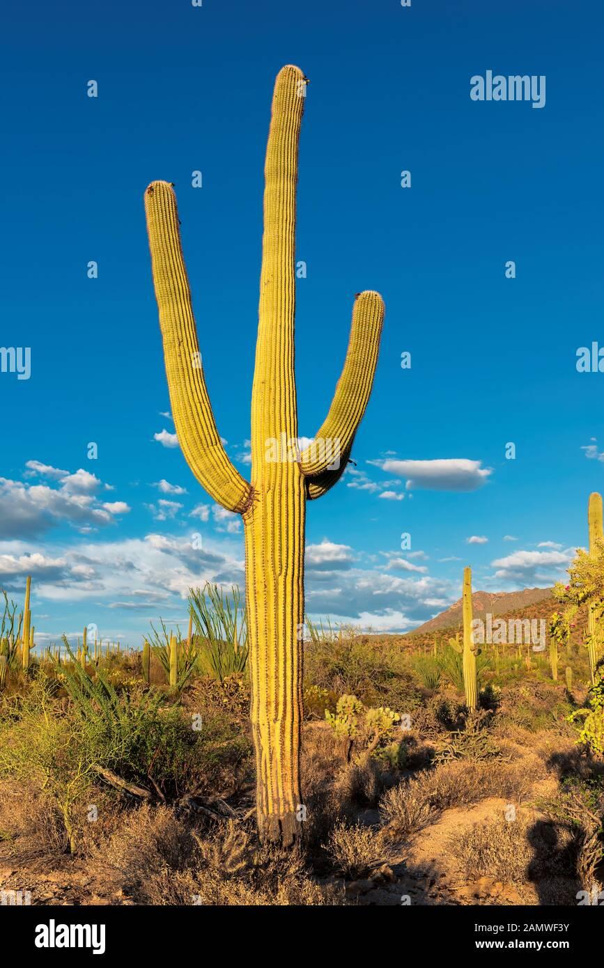 Saguaro Cactus at sunset in Saguaro National Park near Tucson, Arizona. Stock Photo