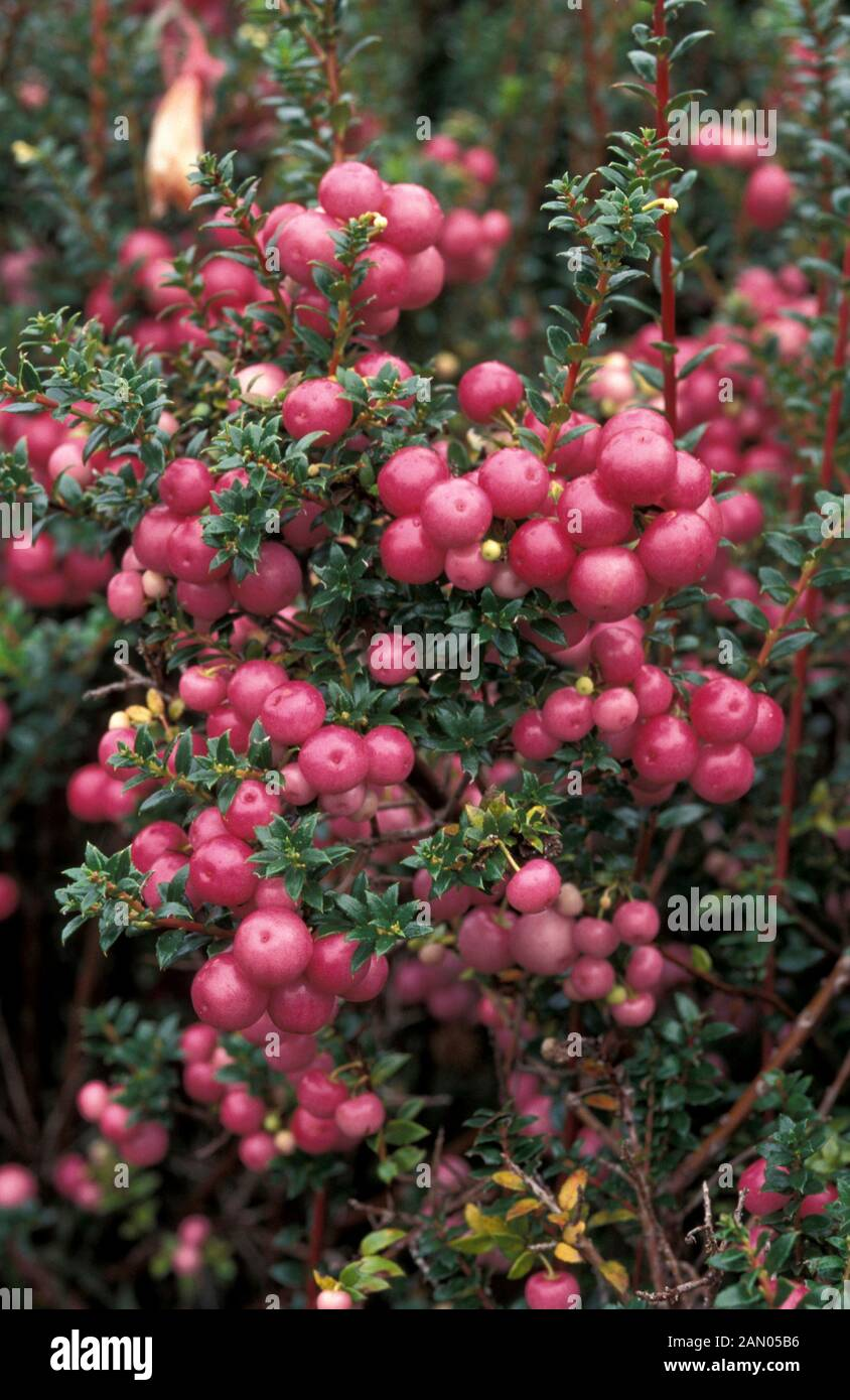 Pernettya Berries.Gaultheria Mucronata Pernettya Clusters Of Berries Stock Photo Alamy