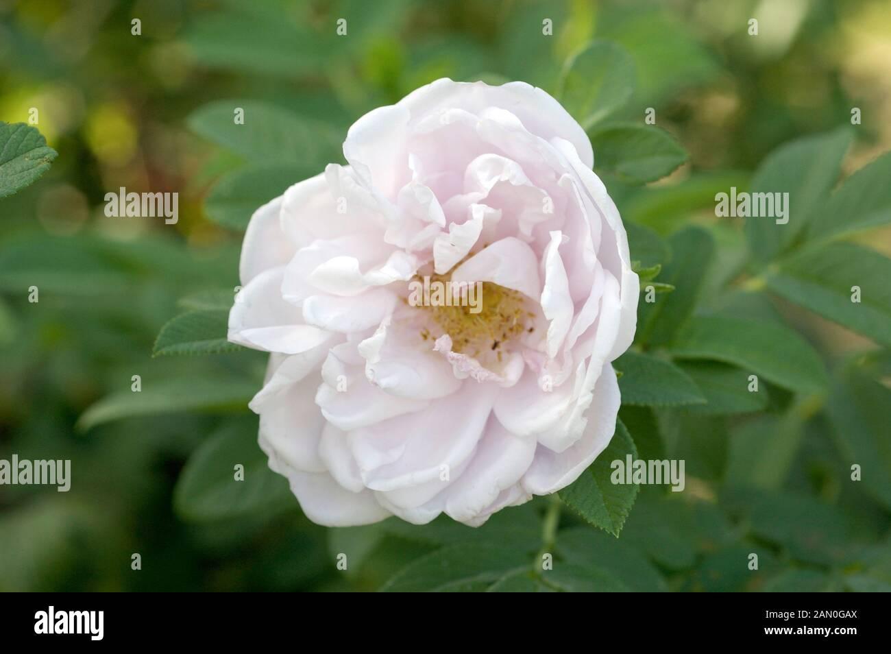 Rosa Snow Pavement Stock Photo 339917618 Alamy