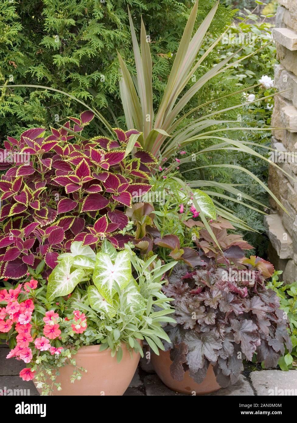 Container Planting Coleus Caladium Petunia Heuchera Phormium Stock