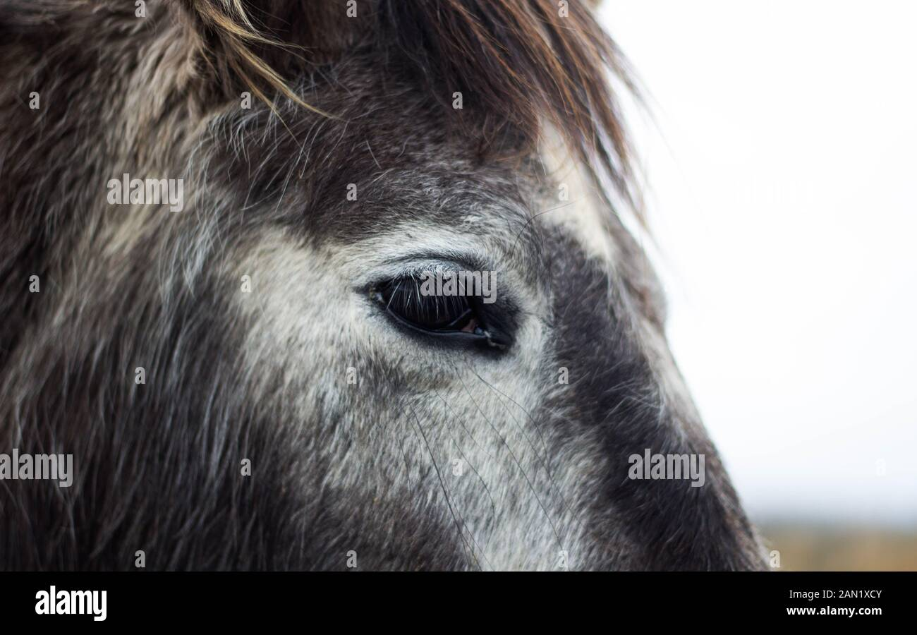 Gray And White Horse Eye Close Up Stock Photo Alamy