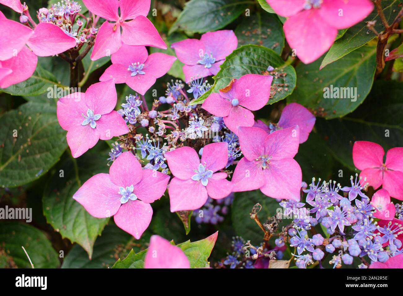Hydrangea macrophylla 'Kardinal Violet' compact lacecap with deep pink and mauve flowers Stock Photo