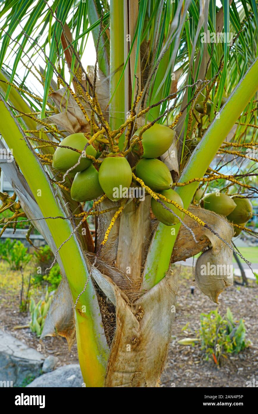 Green Young Coconuts Growing On A Palm Tree Stock Photo Alamy