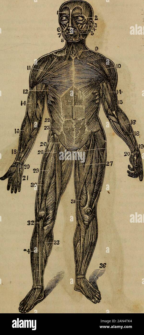 Anatomy Physiology And Laws Of Health In Drawing One Leg Over The Other In The Position Of Atailor When Sewing 29 Rectus Femoris 30 Vastus Externus 31 Vastus Internus These Three Extendor Straiten The