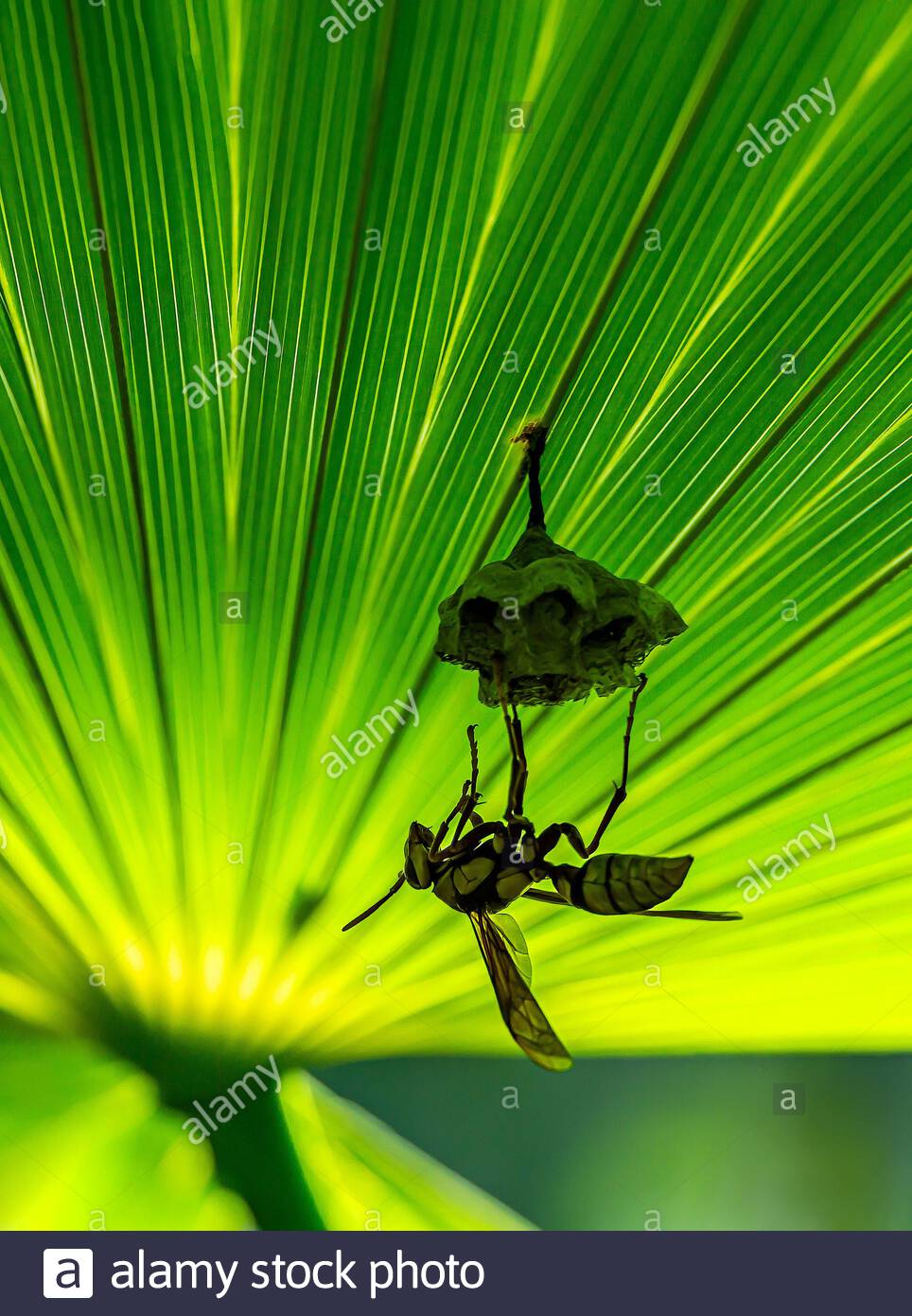 Polistes carnifex and nest in Mexico : vespid wasp native to Central and South America known as the executioner wasp for its extremely painful sting Stock Photo