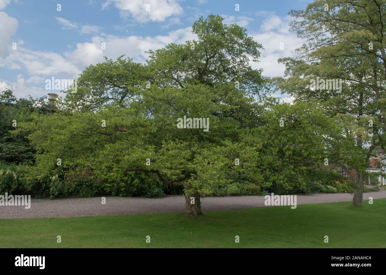 Japanese Snowbell Tree Stock Photos Japanese Snowbell Tree Stock