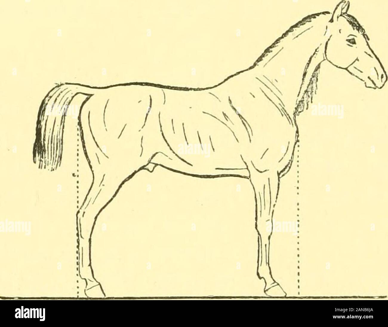 The Points Of The Horse A Familiar Treatise On Equine Conformation The Point Of The Hock If One Hind Foot Be Placed In Front Of The Other Hind Foot The Vertical Line