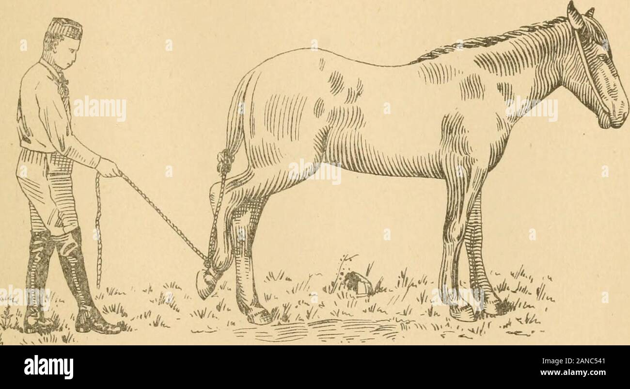 Jesse Beery's practical system of colt training . n. I know farmers who break their Colts with severe bits, and they cannot beused with easy bits, simply because their mouths have been trained and accustomedto severe bits. CHAPTER VIL BAD TO SHOE The habit of resisting to have the feet taken up and submitted to restraint forshoeing, is, like most other habits to which the Horse is subject, caused by ignorantbad treatment. By a little patience, it is seldom that the most sensitive Colts cannotbe made to submit the feet to be handled and pounded upon as desired. And oncedone, it can always be do Stock Photo