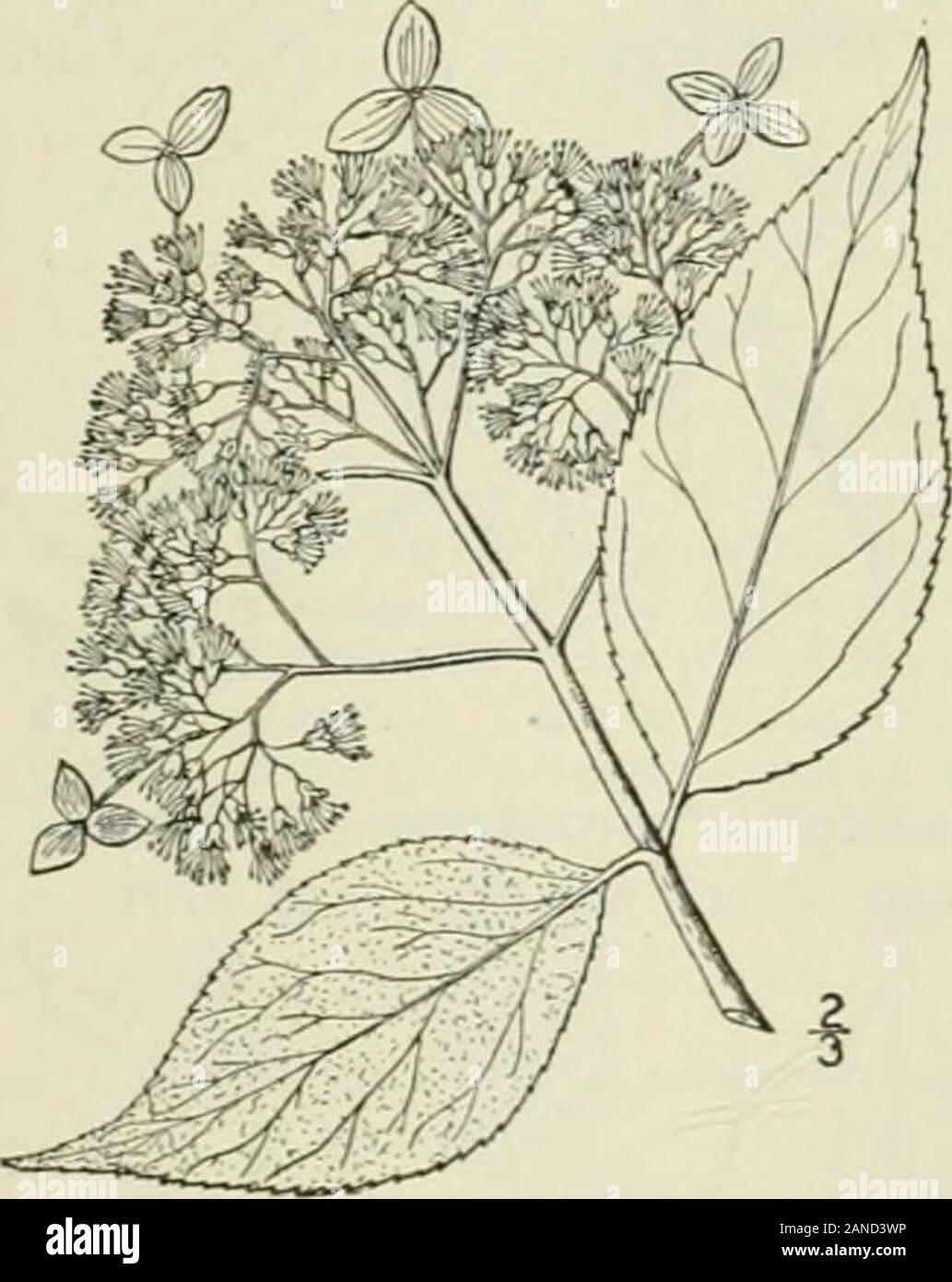3 x Fuchsia Madame cornellison vertical large PLUG plantes Pré Commande