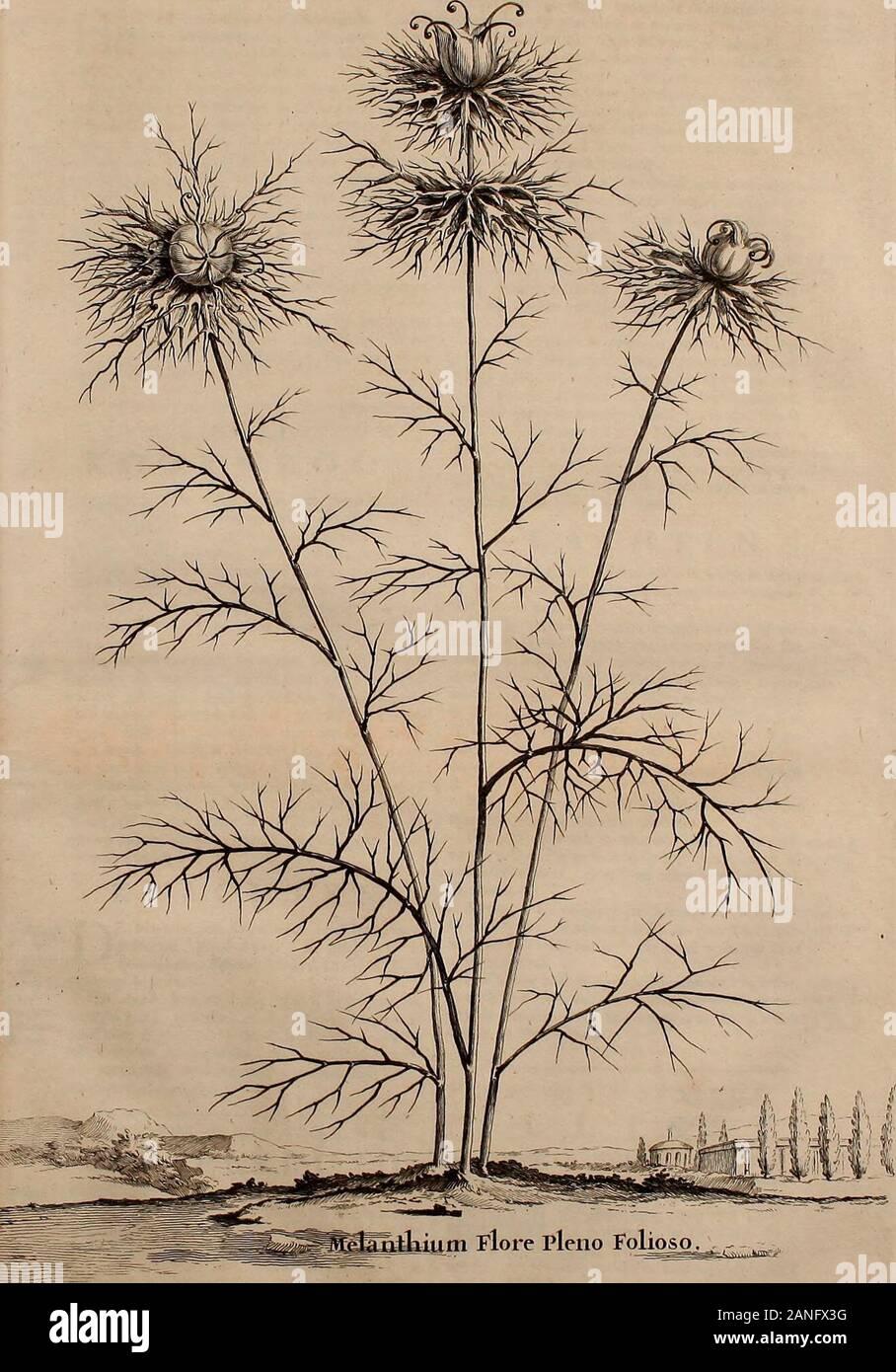 Naauwkeurige beschryving der aardgewassen, waar in de veelerley aart en bijzondere eigenschappen der boomen, heesters, kruyden, bloemen, met haare vrugten, zaden, wortelen en bollen, neevens derzelver waare voort-teeling, gelukkige aanwinning, en heylzaame genees-krachten ..beschreeven worden; . jf tamelij k-lange, ook een wcy-nig gekromde Hoornen vercierd zijnde Knop , in tmidden voortkomende, zijne volle zwartheyd heeftverkreegen. Dan vergaan ze eerft te zamen met de ge-heele Plant. IX. Melanthum Damascenum flo-re pleno prolifero , of Nigelle van Damafco meteen dubbele bladerige Bloem uyt Bl Stock Photo