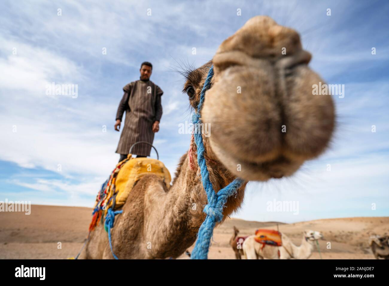 Marrakech, Morocco - January 14, 2010: A man standing on his dromedary camel to show off on Agafay desert , Marrakech, Morocco Stock Photo