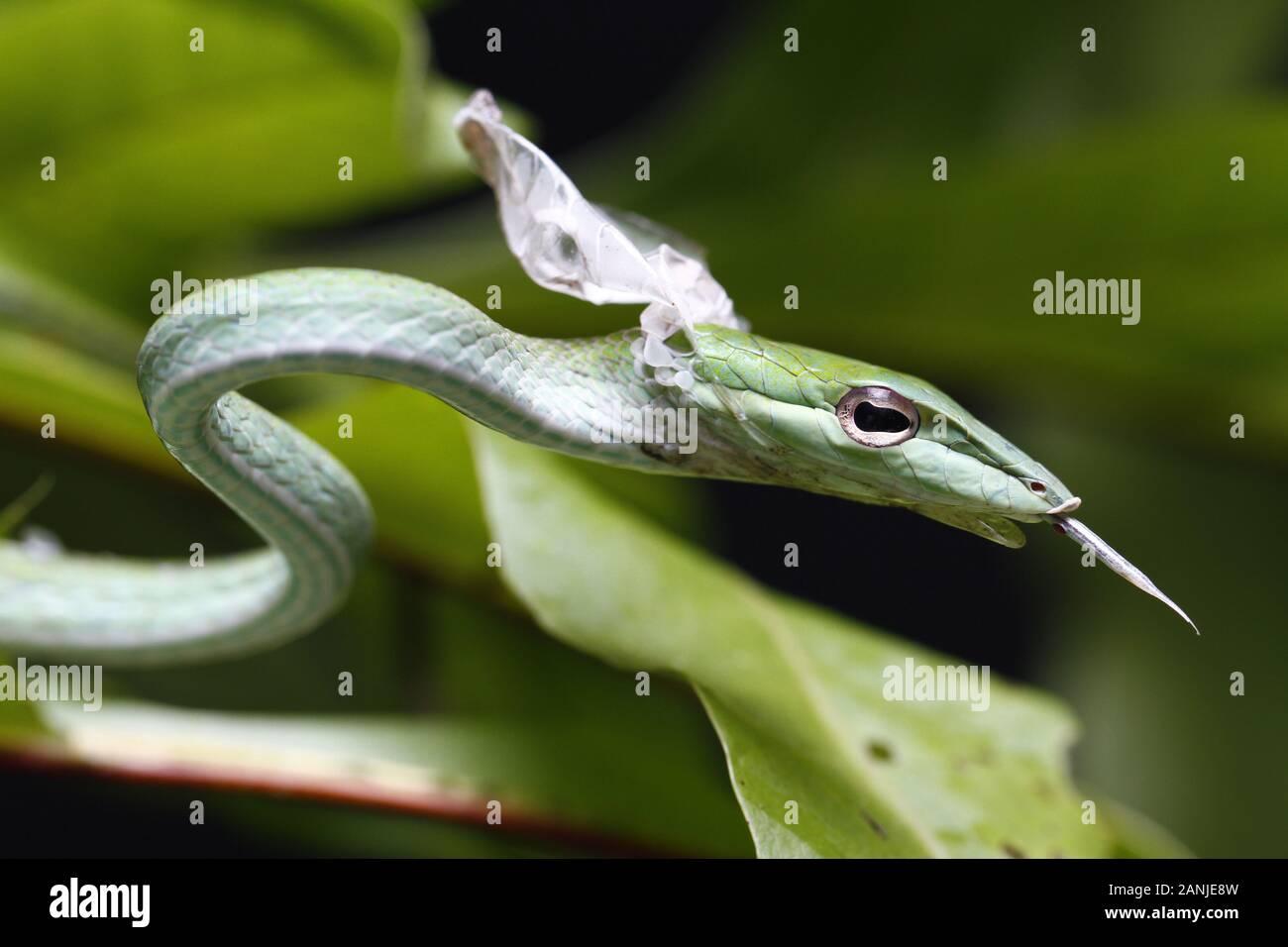Close Up of Asian Vine Snake (Ahaetulla prasina) Shedding it's Skin. Stock Photo