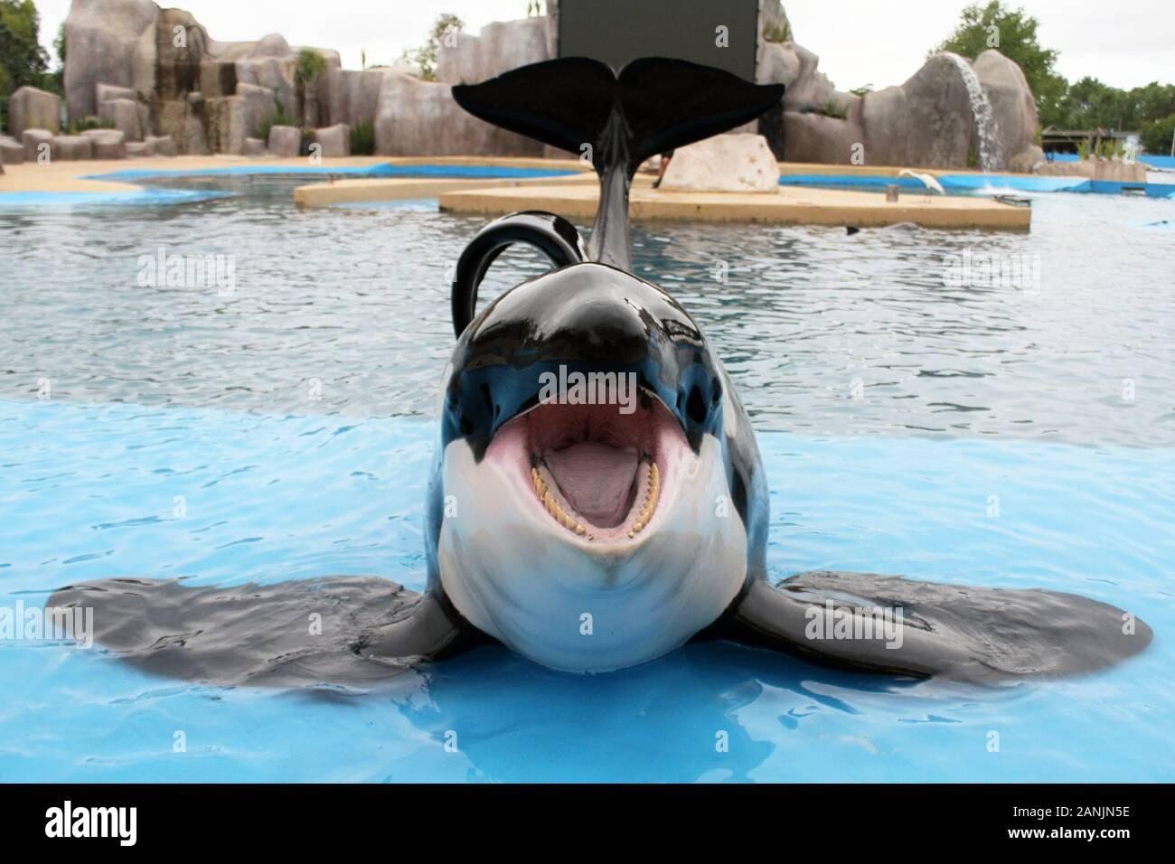 Kshamenk, the Orca of Mundo Marino smiles for my camera. Stock Photo