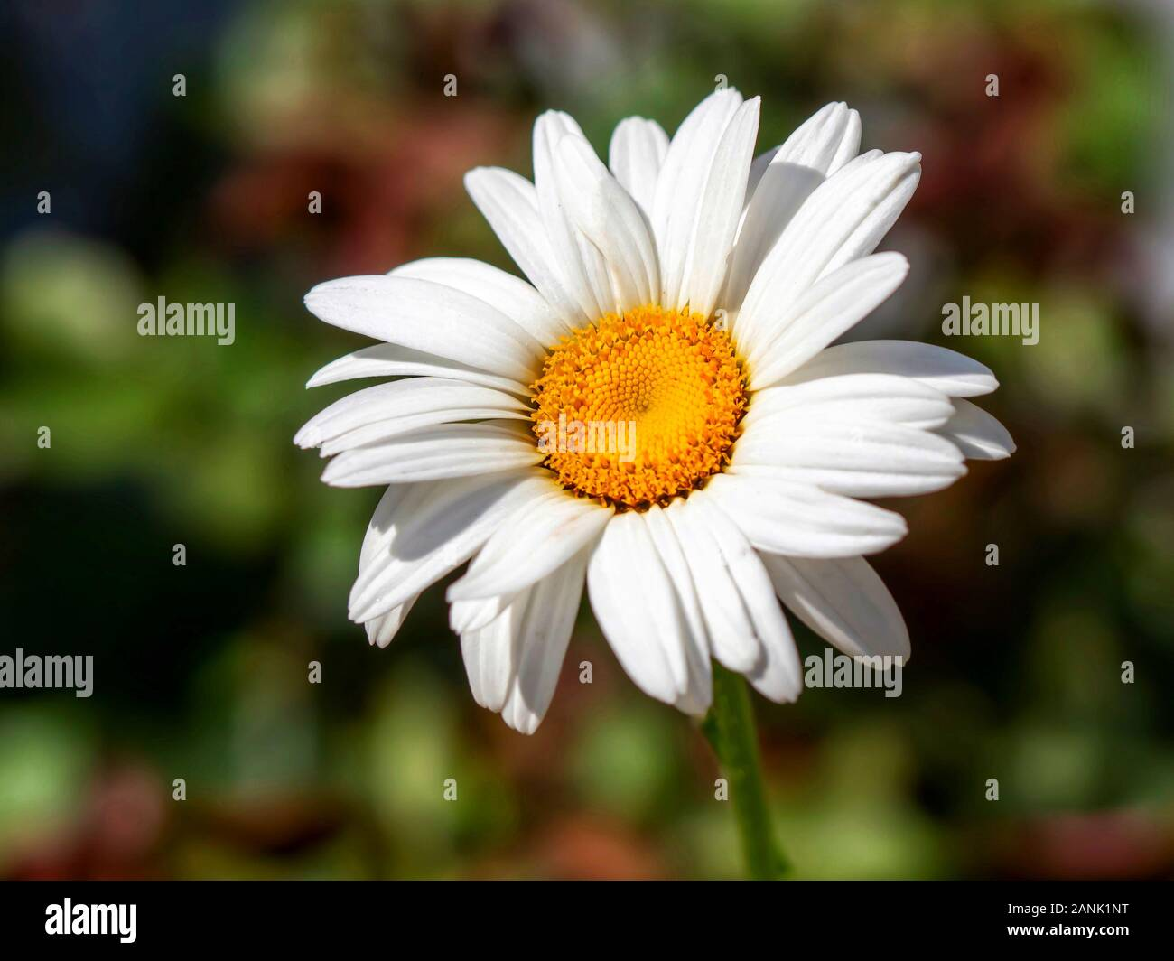 A White Daisy Bloom With Yellow Center Against Green And Brown Background Stock Photo Alamy In the first video, we are introduced to alan, the monster that her father created in a lab before he disappeared. alamy