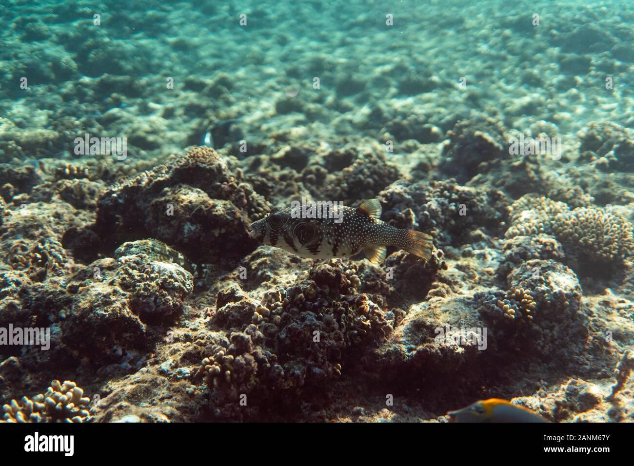 arothron stellatus underwater in the ocean of egypt, underwater in the ocean of egypt, arothron stellatus underwater photograph underwater photograph, Stock Photo