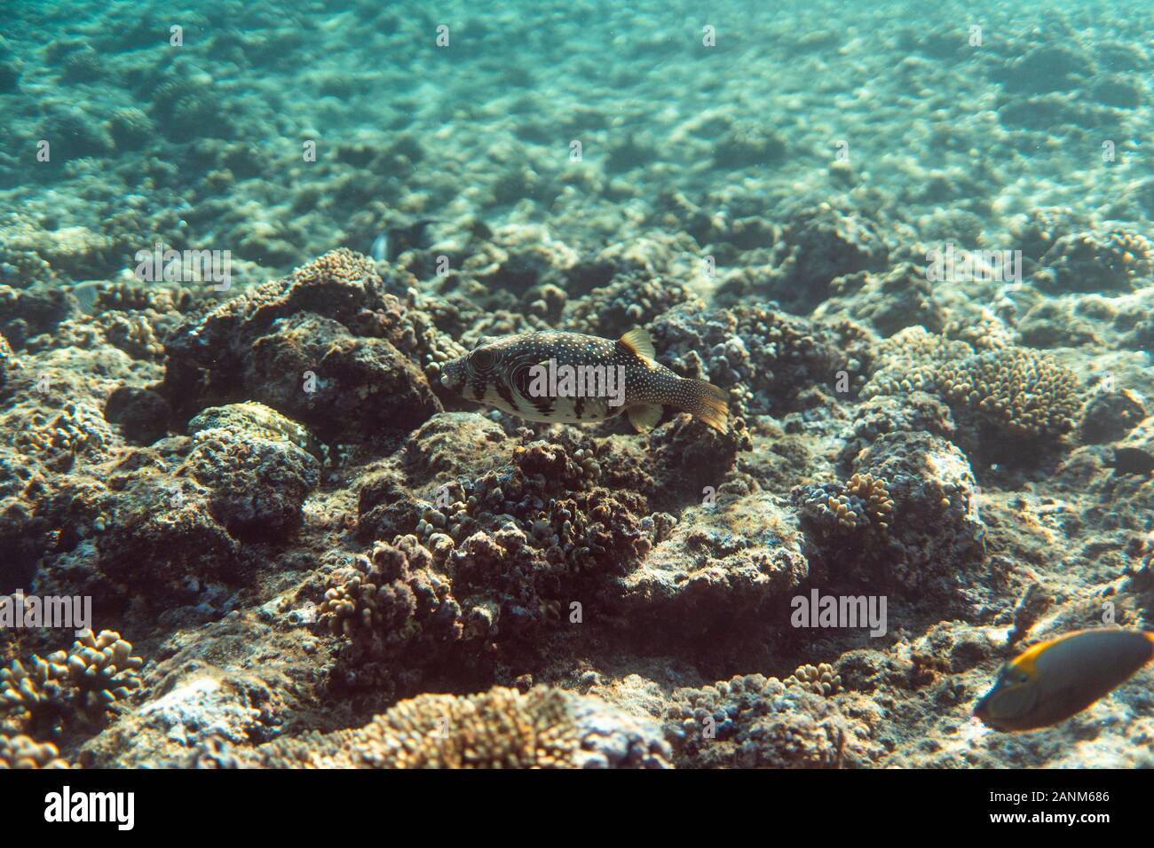 arothron stellatus underwater in the ocean of egypt, underwater in the ocean of egypt, arothron stellatus underwater photograph underwater photograph, Stock Photo