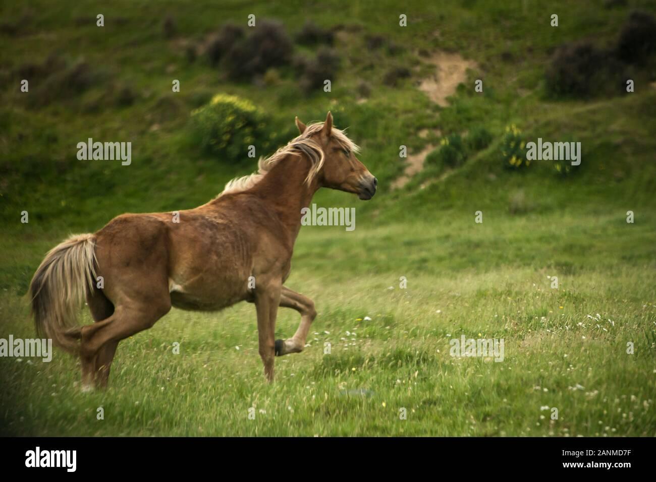 Wild Horse Running In Kaimanawa Mountain Range Central Plateau New Zealand Stock Photo Alamy