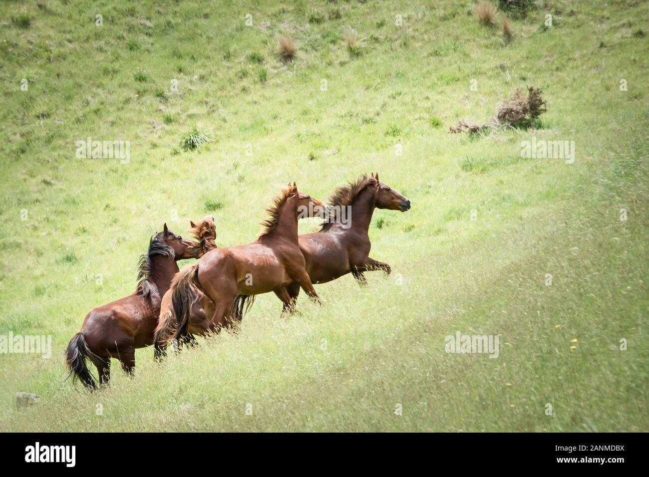Wild Horses Running In The Green Kaimanawa Mountain Ranges New Zealand Stock Photo Alamy