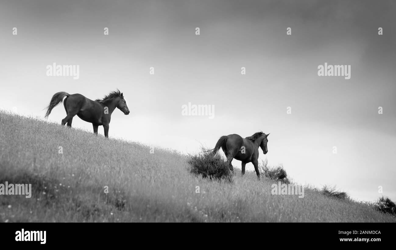 Black And White Image Of Two Wild Kaimanawa Horses Running In The Mountain Ranges Central Plateau New Zealand Stock Photo Alamy