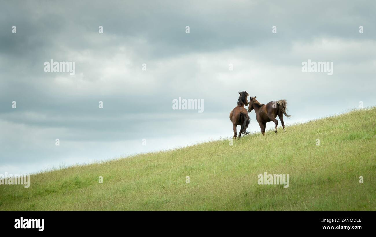 Two Wild Horses Running In The Kaimanawa Mountain Ranges North Island New Zealand Stock Photo Alamy