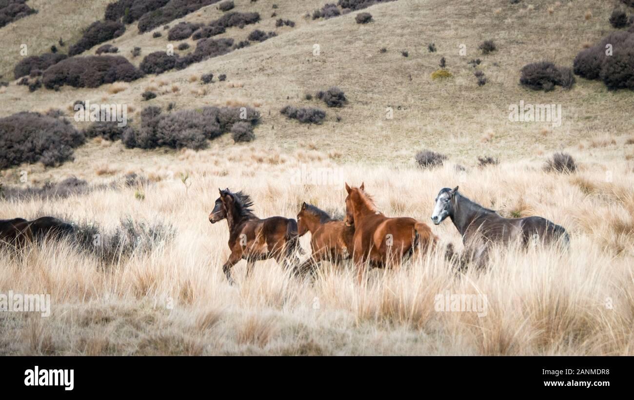 Wild Horses Running In Kaimanawa Mountain Ranges North Island New Zealand Stock Photo Alamy