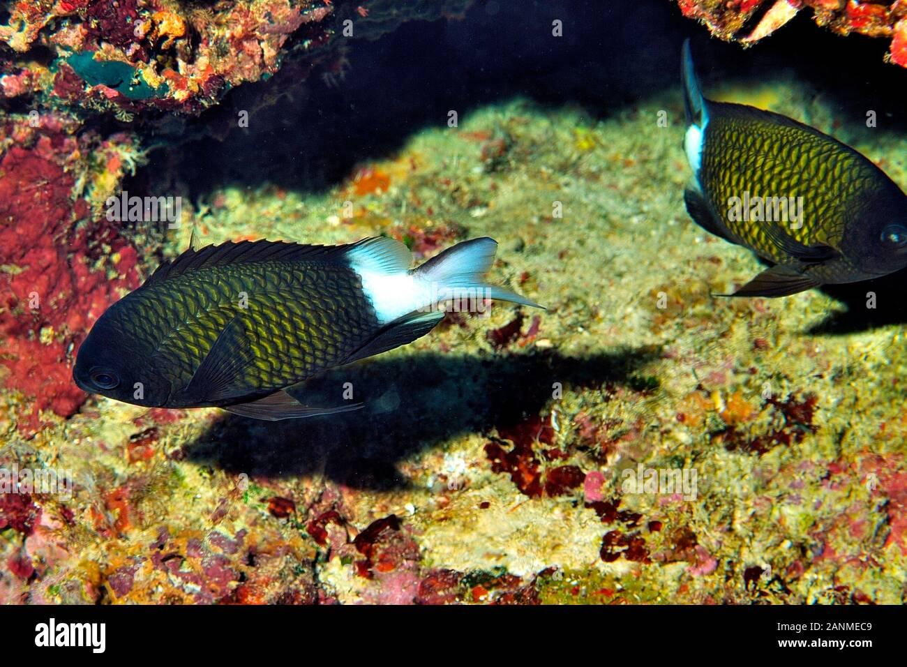 Speckled-Fin Damselfish,  'Pomacentrus Nagasakeiensis', Maede Cape, Onna, Okinawa, Ryukyu Islands, Japan Stock Photo