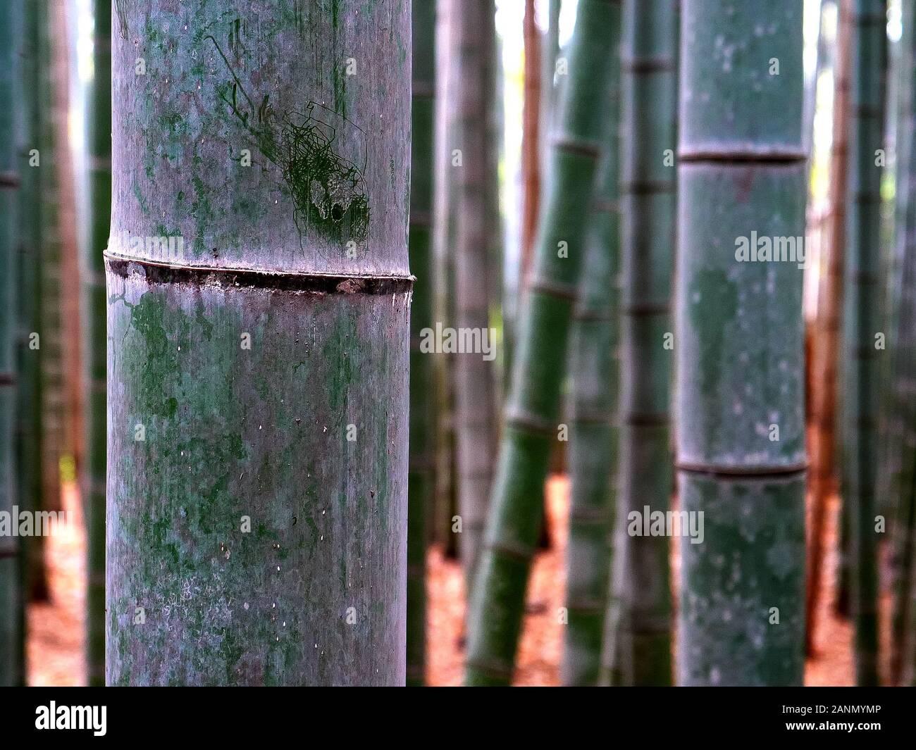 close up of a bamboo plant at arashiyama bamboo forest in kyoto Stock Photo