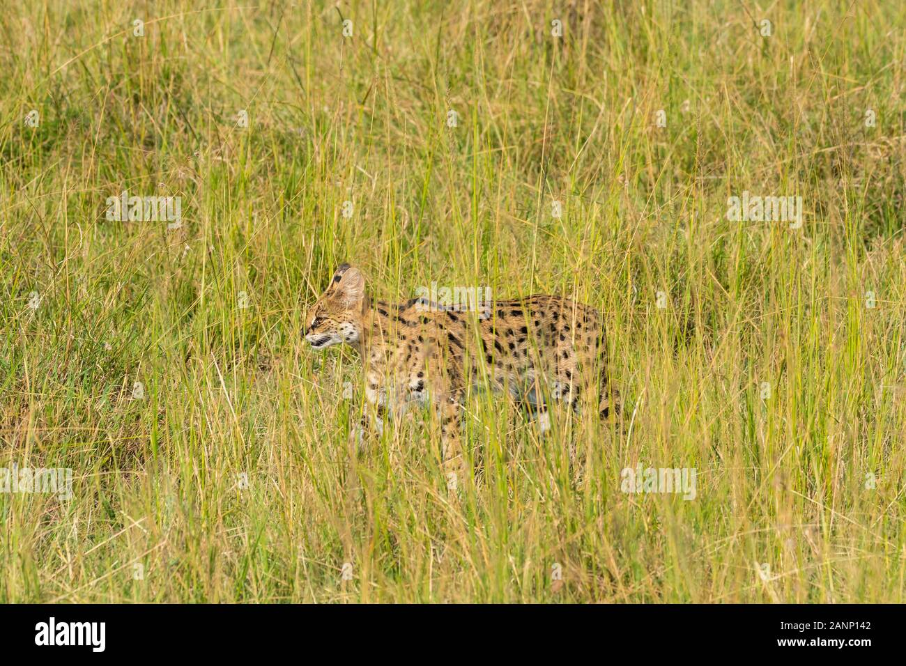 A serval cat walking in the high grasses in the plains of Africa inside Masai Mara National Reserve during a wildlife safari Stock Photo