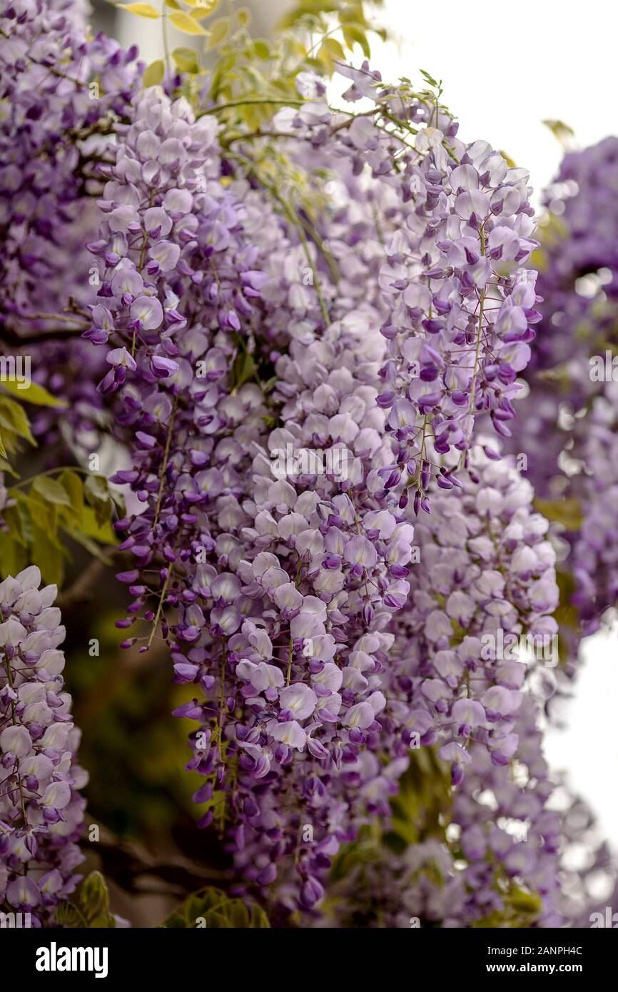 purple and white colored inflorescences of a wisteria Stock Photo