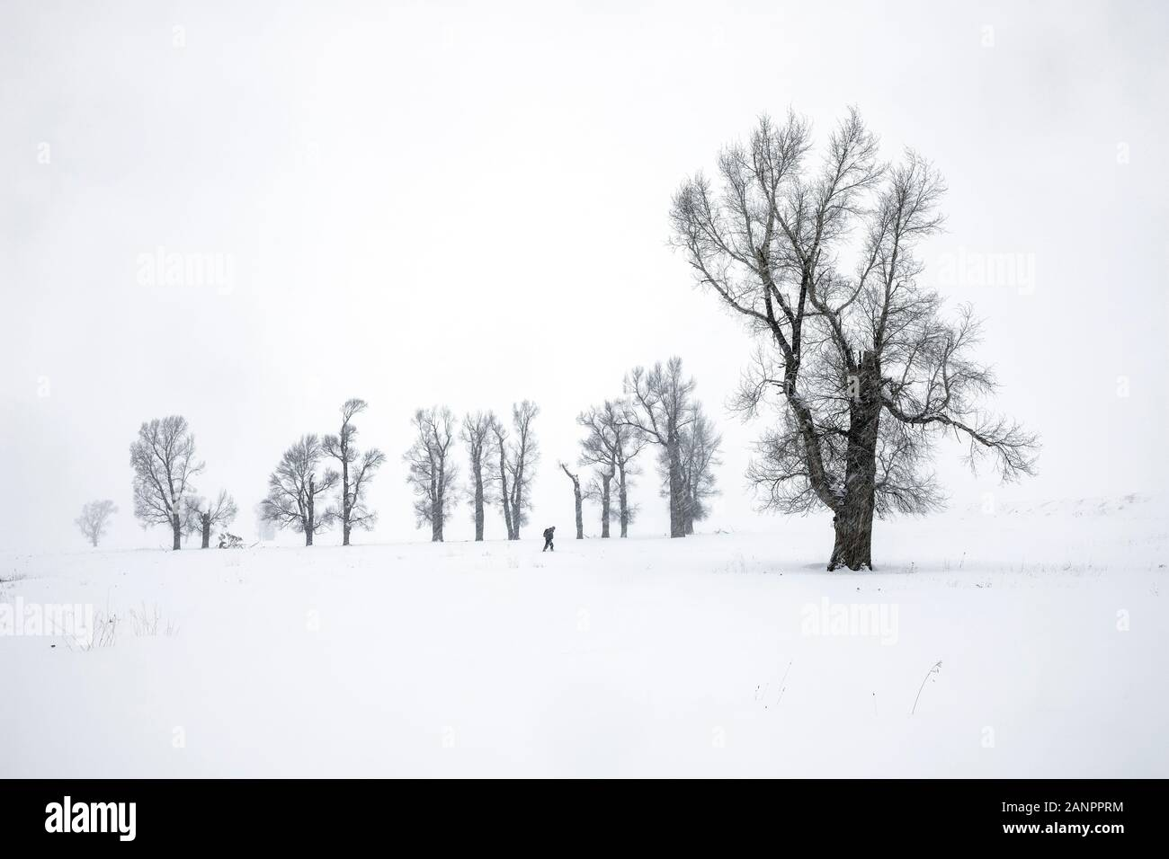 WY03626-00...WYOMING - Cottonwood trees during a snow storm in the Lamar Valley of Yellowstone National Park. Stock Photo