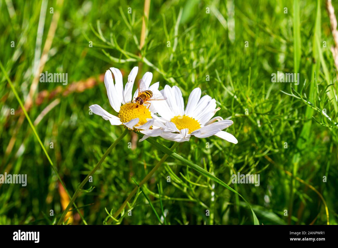 Bee collects pollen from  echinacea coneflower flower. Echinacea purpurea, PowWow White, Yellow cone head and white petals. Garden in Ireland Stock Photo
