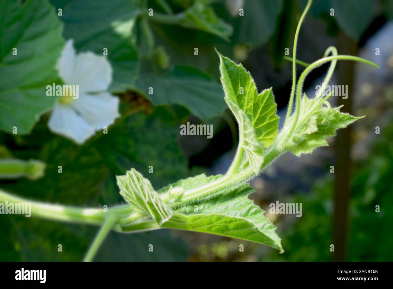 an image of a beautiful bottle gourd flower bud with a flower in the background Stock Photo