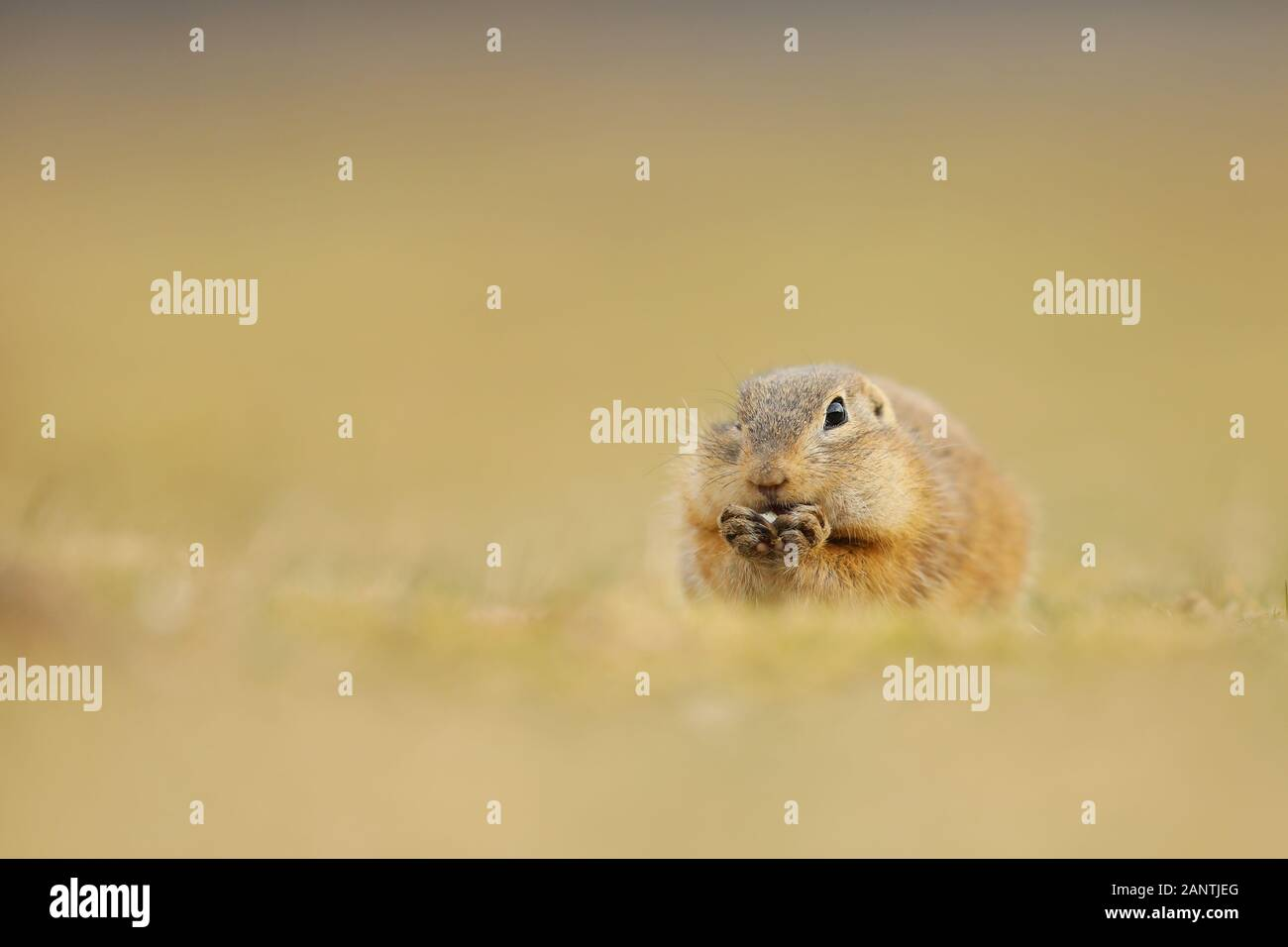 European Ground Squirrel, Spermophilus citellus, eating in the meadow during summer, detail animal portrait, Czech Republic. Stock Photo