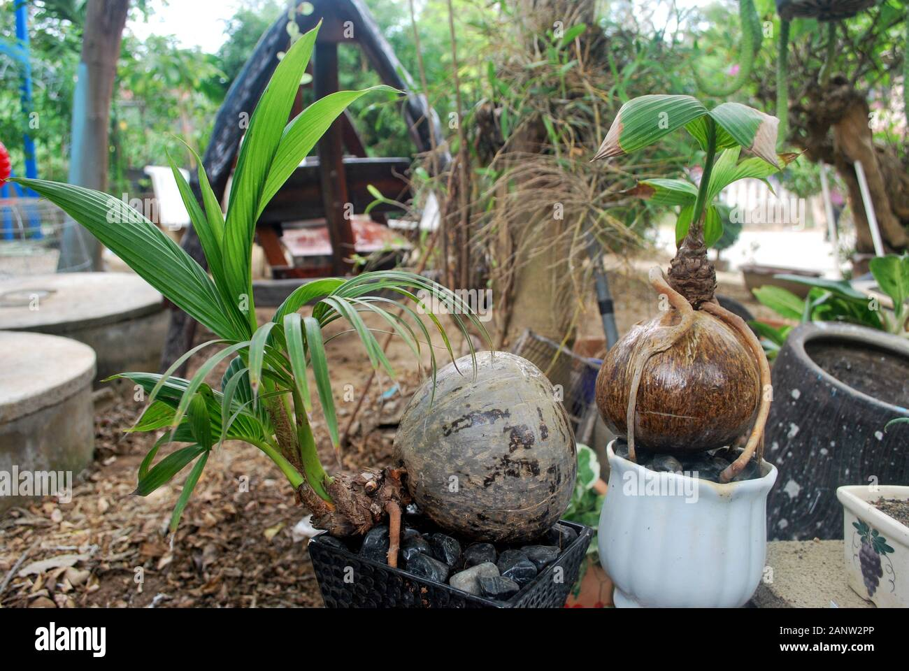 Coconut Bonsai High Resolution Stock Photography And Images Alamy