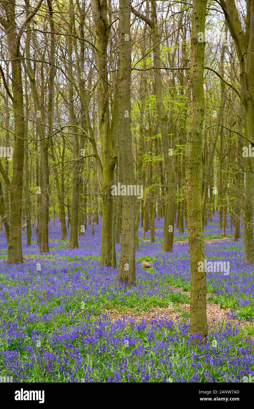 Beech tree woods filled with bluebell flowers in the Spring. Ashridge Forest, the Chiltern hills, near Ringshall, England, United Kingdom. Stock Photo