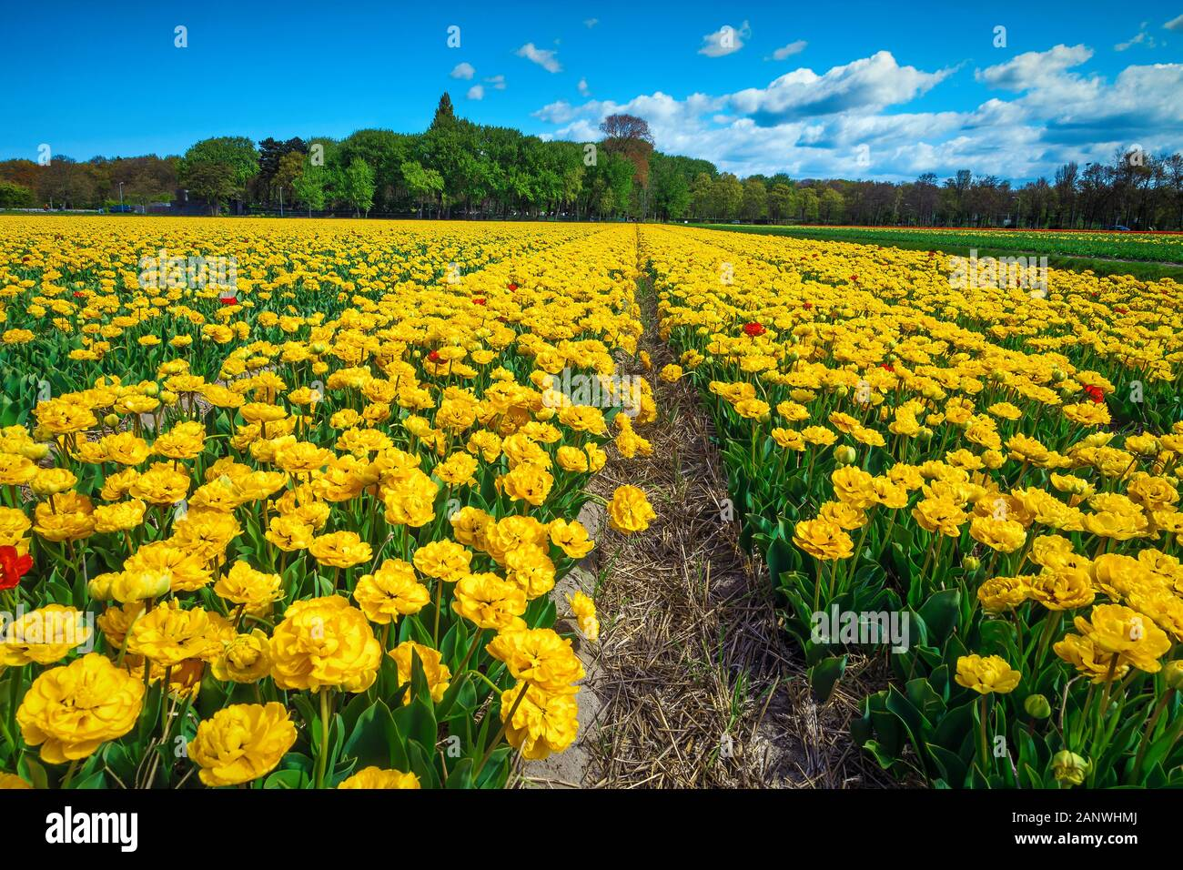 Amazing Spring Landscape With Dutch Flower Gardens And Fragrant