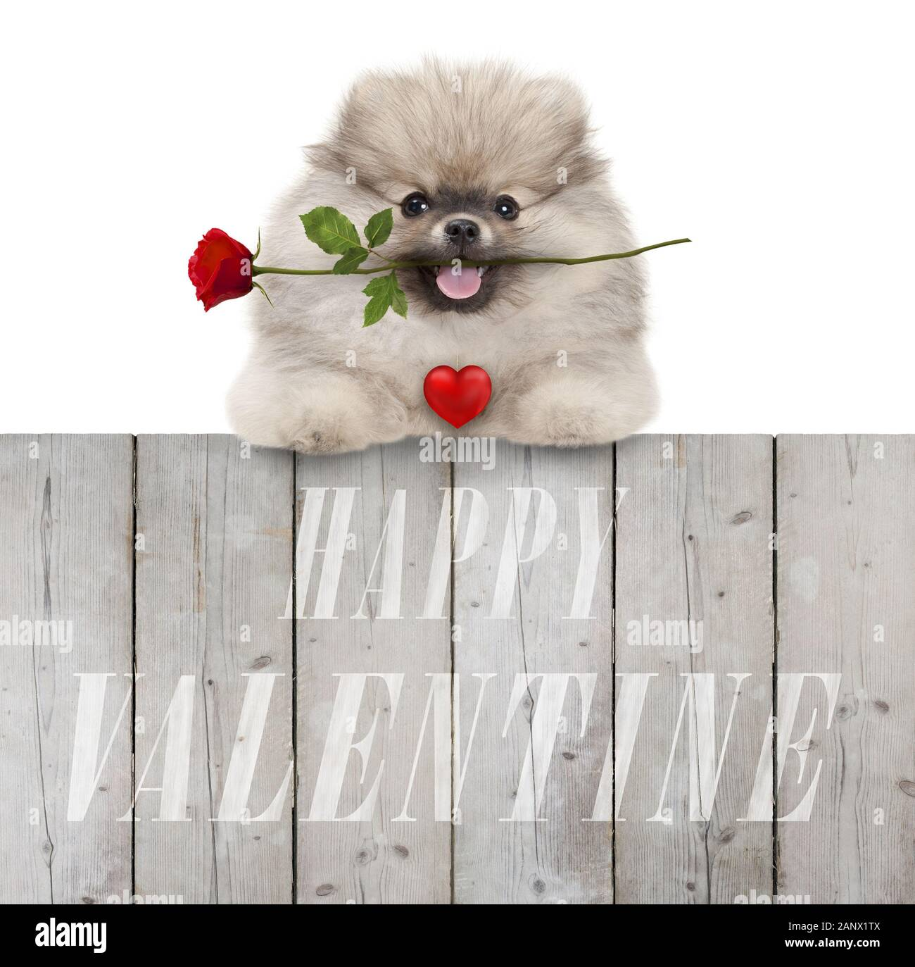 cute smiling pomeranian spitz puppy dog with red heart and rose, and text happy valentine, hanging with paws on wooden fence, isolated on white backgr Stock Photo