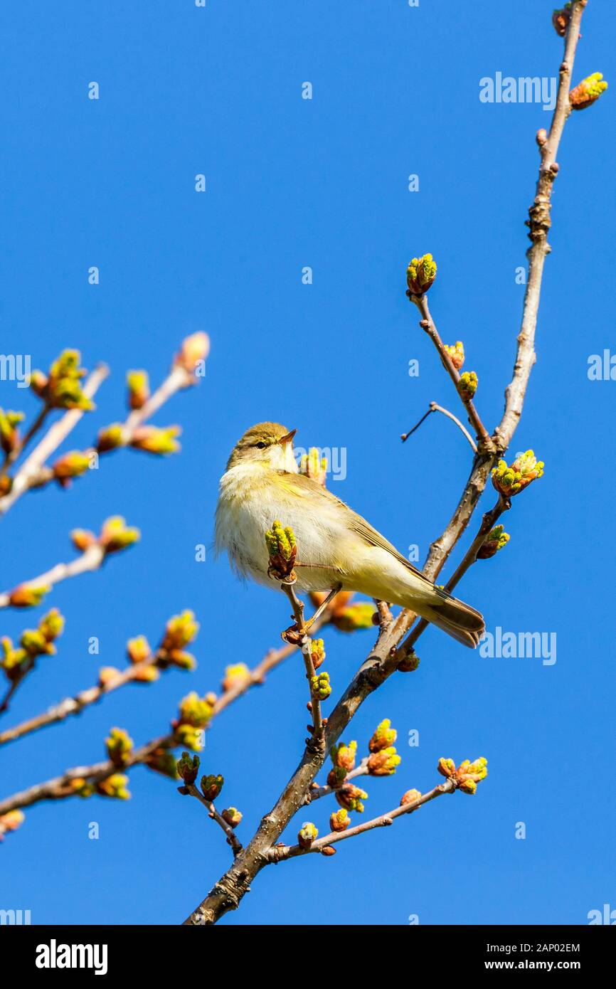 Tree with leaf buds and a Willow Warbler Stock Photo