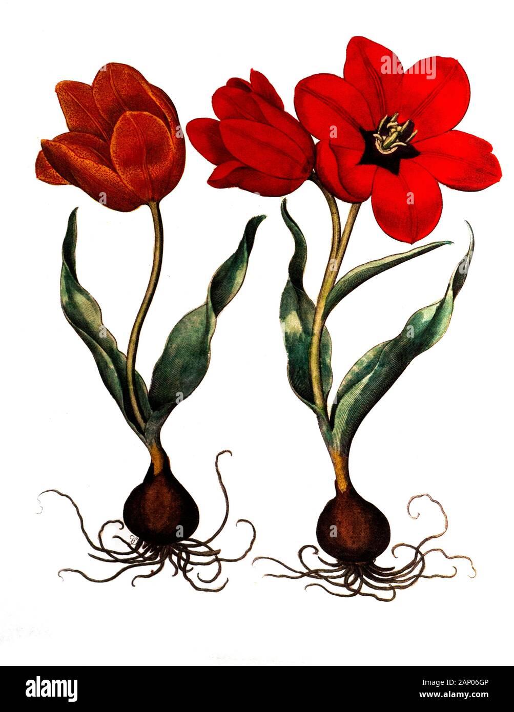 Fire Lily Basilius Besler Vintage Botanical Poster