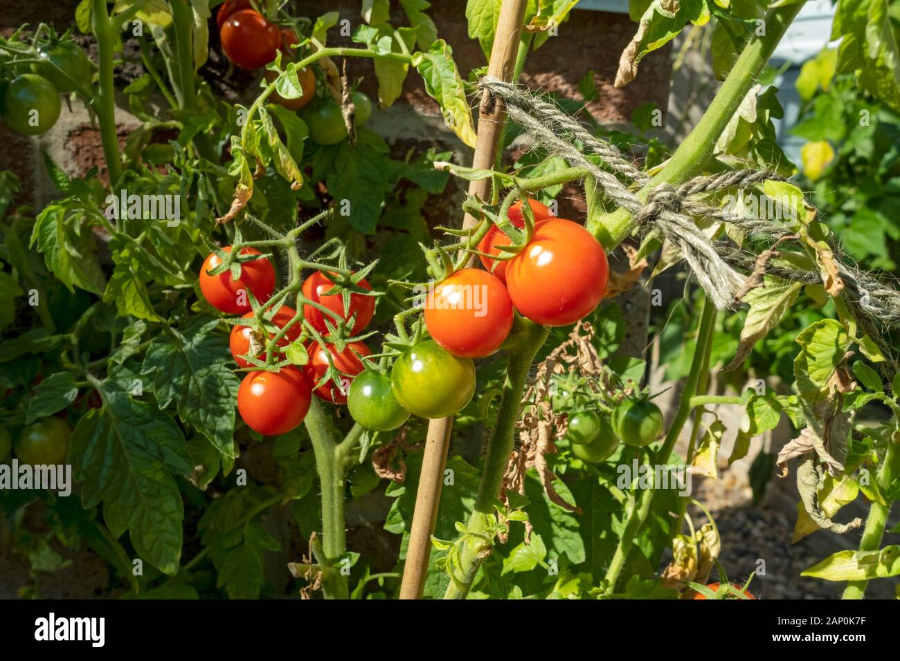 Can You Grow Gardeners Delight Tomatoes Outside