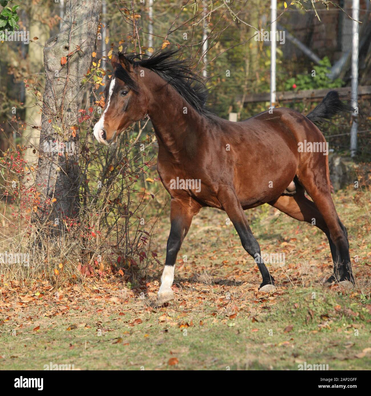 Brown Arabian Stallion Running In Paddock With Trees Stock Photo Alamy