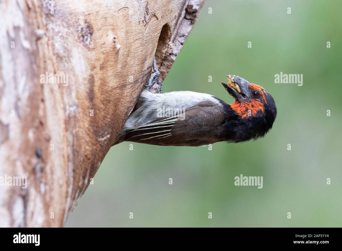 Black-collared Barbet (Lybius torquatus), side view of an adult at the entrance of the nest, Mpumalanga, South Africa Stock Photo