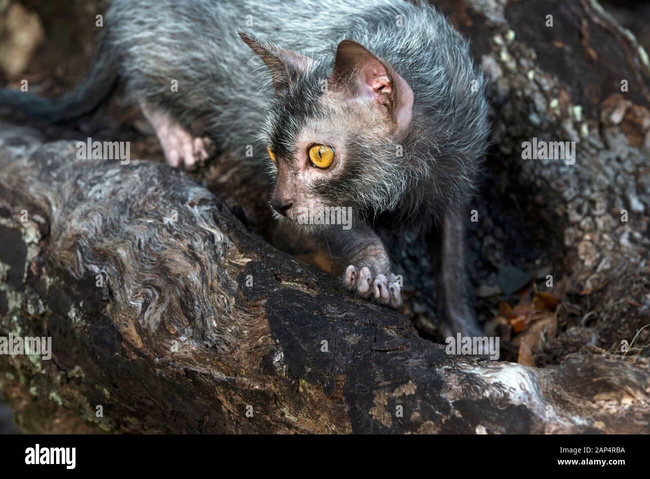 Lykoi Cat Stock Photo Alamy