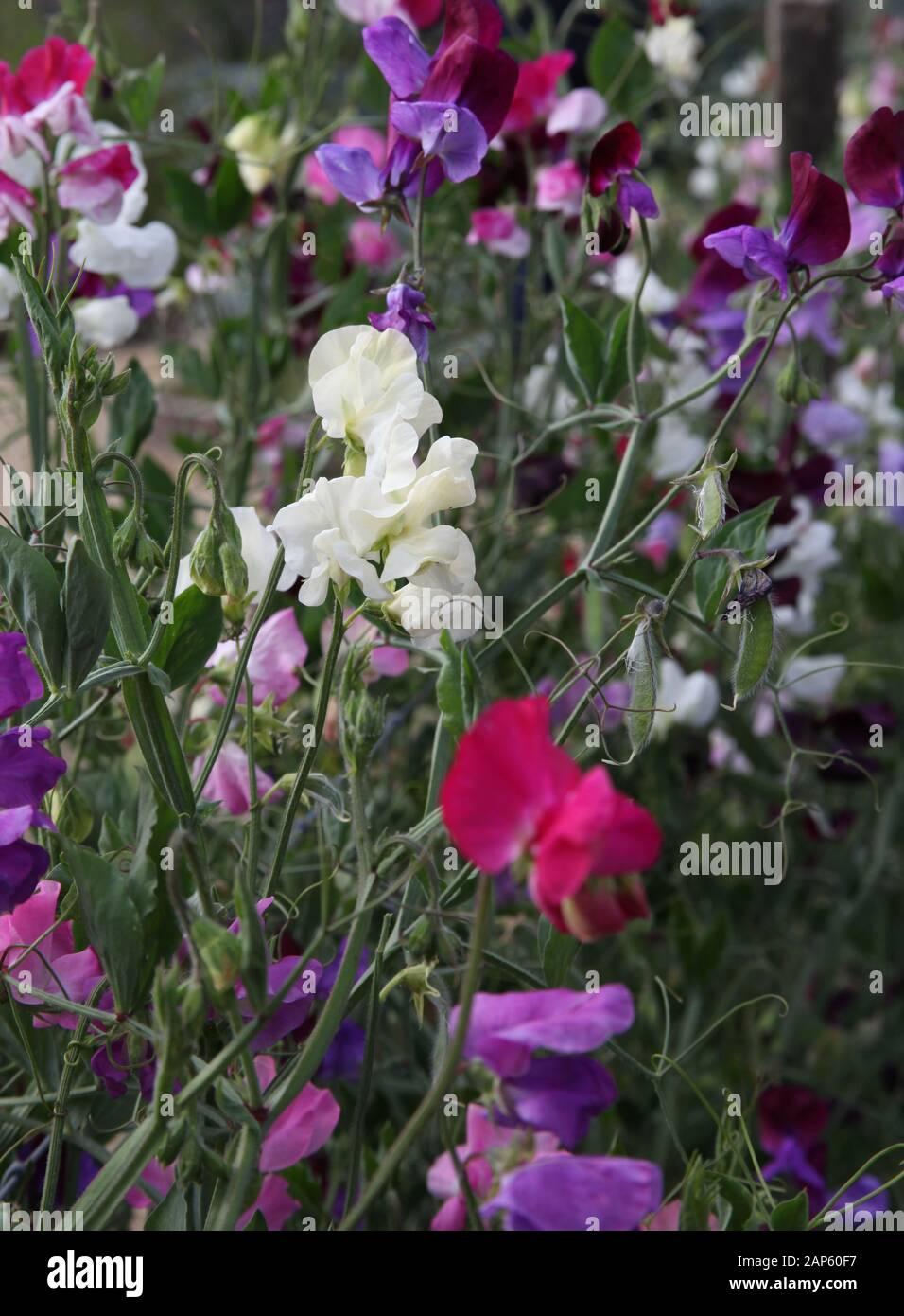 Sweet pea flowers Stock Photo