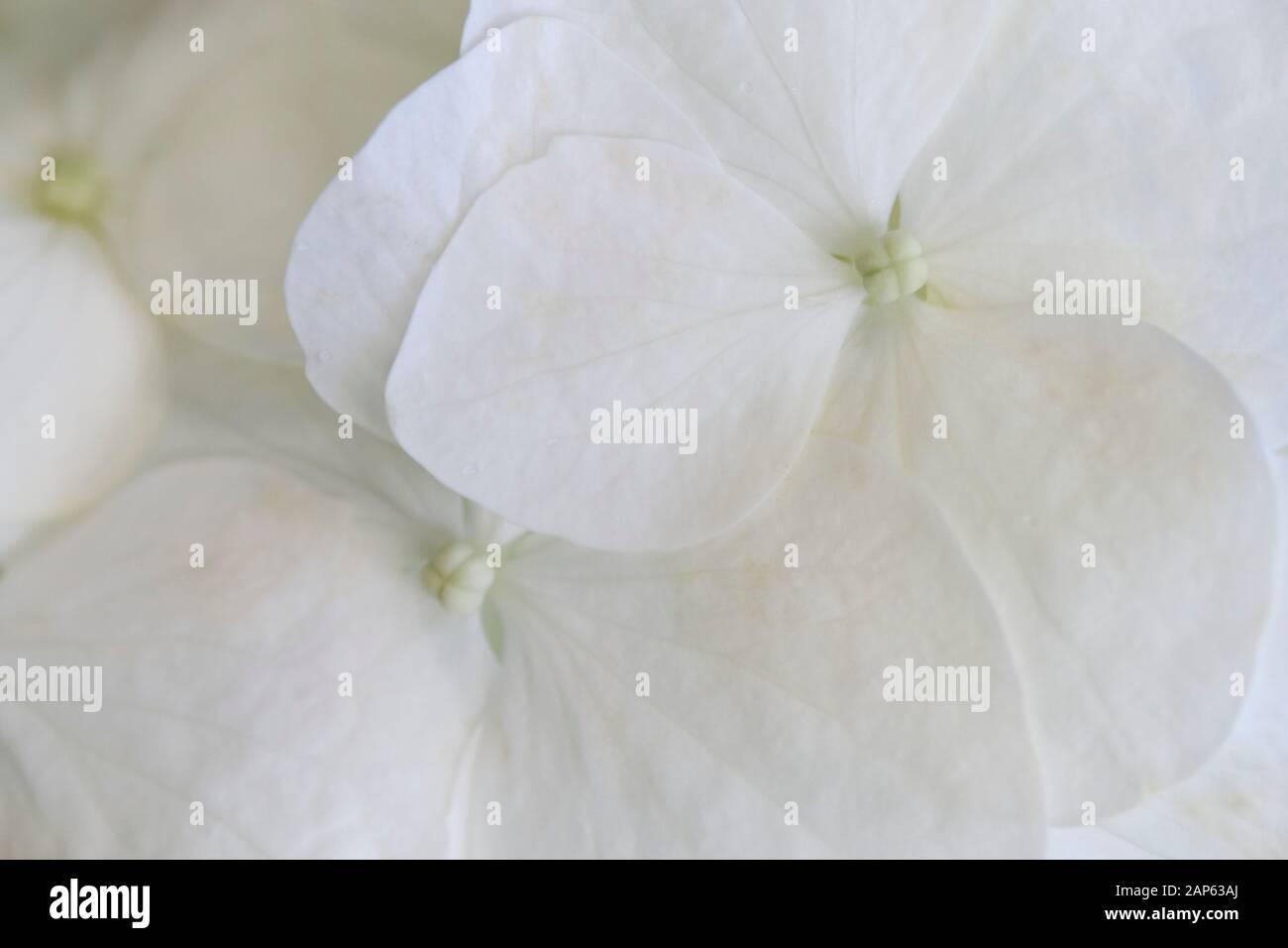 beautiful and pure white hydrangeas Stock Photo