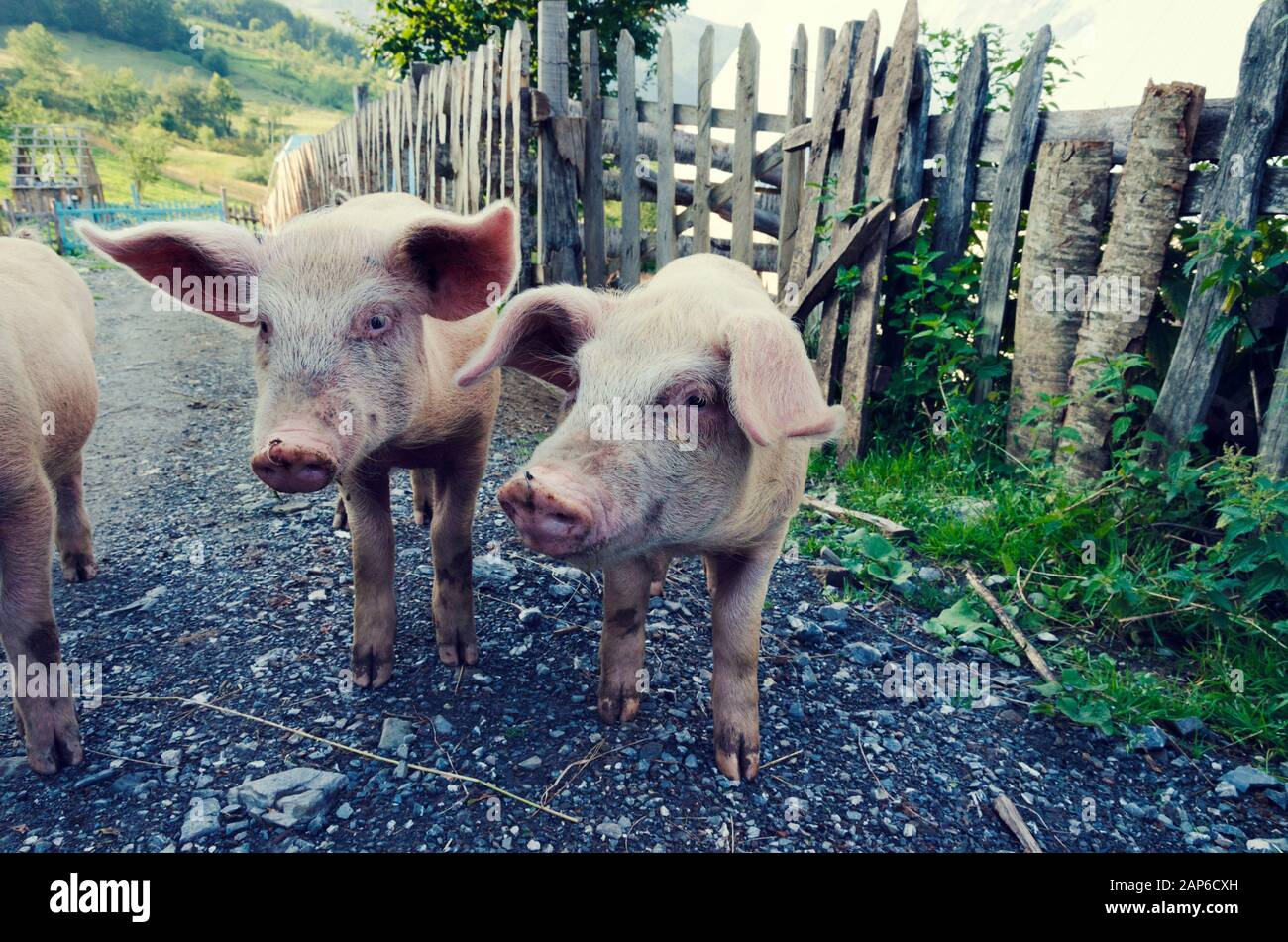 Pigs on a pig farm in Albania. Selective focus Stock Photo
