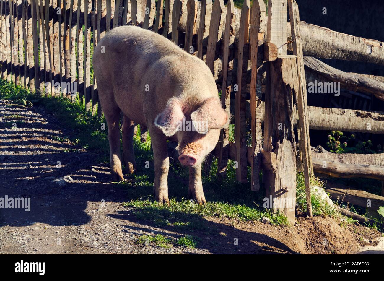 One pig next to wooden fence in Albanian farm. Selective focus Stock Photo